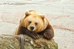 Ours de Brown Photos libres de droits