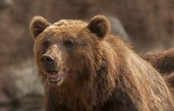 Ours de Brown Photographie stock libre de droits