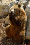 Ours de Brown, arctos d'Ursus Image stock