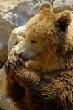 Ours de Brown, arctos d'Ursus Photo libre de droits