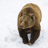 Ours de Brown (arctos d'Ursus) Photos stock