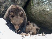 Ours de Brown (arctos d'Ursus) Images libres de droits
