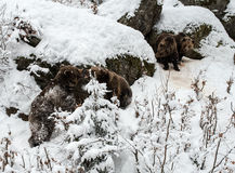 Ours de Brown (arctos d'Ursus) Images libres de droits