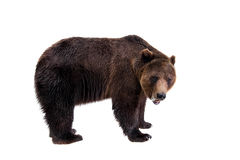 Ours de Brown, arctos d'Ursus Images libres de droits