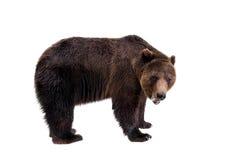 Ours de Brown, arctos d'Ursus Images libres de droits