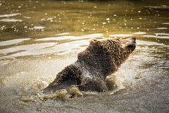 Ours de Brown (arctos d'Ursus) Photo libre de droits