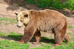 Ours de Brown (arctos d'Ursus) images stock