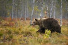Ours de Brown - arctos d'Ursus Photo libre de droits