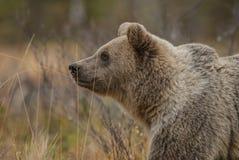 Ours de Brown - arctos d'Ursus Image stock