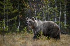 Ours de Brown - arctos d'Ursus Photographie stock libre de droits