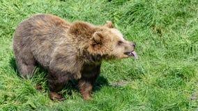 Ours de Brown (arctos d'Ursus) collant sa langue Photo libre de droits