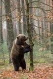 Ours de Brown (arctos d'Ursus) dans la forêt d'hiver Photographie stock libre de droits