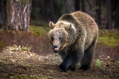 Ours de Brown (arctos d'Ursus) dans la forêt d'hiver Image stock