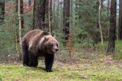 Ours de Brown (arctos d'Ursus) dans la forêt d'hiver Photos stock