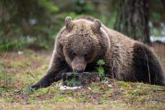 Ours de Brown (arctos d'Ursus) dans la forêt d'hiver Image libre de droits