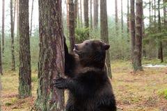 Ours de Brown (arctos d'Ursus) dans la forêt d'hiver Photo stock