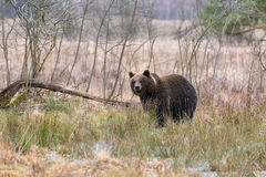 Ours de Brown (arctos d'Ursus) dans la forêt d'hiver Photo libre de droits