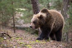 Ours de Brown (arctos d'Ursus) dans la forêt d'hiver Images libres de droits