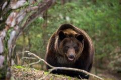 Ours de Brown (arctos d'Ursus) dans la forêt d'hiver Images stock