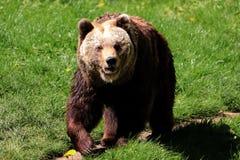 Ours de Brown, arctos d'ursus, dans le printemps photographie stock libre de droits