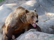 Ours de Brown (arctos d'Ursus) sur la roche Photo stock