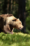 Ours de Brown attrapant une mouche Images libres de droits