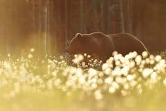 Ours de Brown au coucher du soleil d'été Photo libre de droits