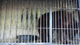 Ours de Brown au zoo banque de vidéos