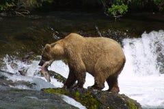 Ours de Brown avec des saumons Photographie stock libre de droits