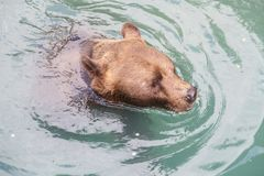 Ours de Brown chez Bern Bear Park, Suisse Images libres de droits