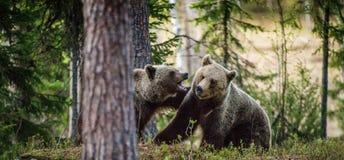 Ours de Brown combattant par espièglerie Photo stock