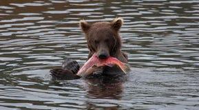 Ours de Brown d'Alaska photos libres de droits