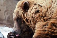 Ours de Brown d'Alaska de repos - zoo du Minnesota Images libres de droits