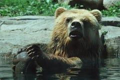 Ours de Brown d'Alaska se baignant dans la piscine Photographie stock
