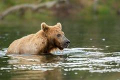 Ours de Brown dans l'eau Image stock