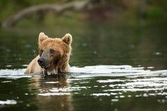Ours de Brown dans l'eau Image libre de droits