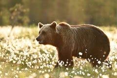 Ours de Brown dans l'herbe de coton au coucher du soleil Photos libres de droits