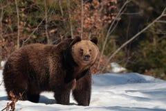 Ours de Brown dans la forêt de montagnes de Maramures Image stock