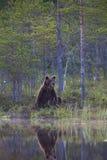Ours de Brown dans la forêt finlandaise avec la réflexion du lac Images stock