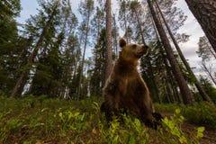 Ours de Brown dans la forêt finlandaise grande-angulaire Images stock