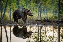 Ours de Brown dans la lumière de soirée Photographie stock