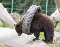 Ours de Brown dans la nature photographie stock
