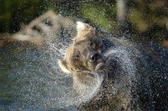 Ours de Brown dans la pulvérisation de fleuve et d'eau Photo libre de droits
