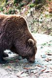 Ours de Brown dans la réservation Photos stock