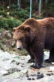 Ours de Brown dans la réservation Photo libre de droits