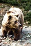 Ours de Brown dans la réservation Image libre de droits