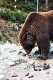 Ours de Brown dans la réservation Photo stock