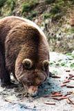 Ours de Brown dans la réservation Photographie stock