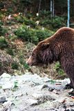 Ours de Brown dans la réservation Images libres de droits