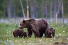 Ours de Brown dans le domaine finlandais avec des fleurs Photos stock